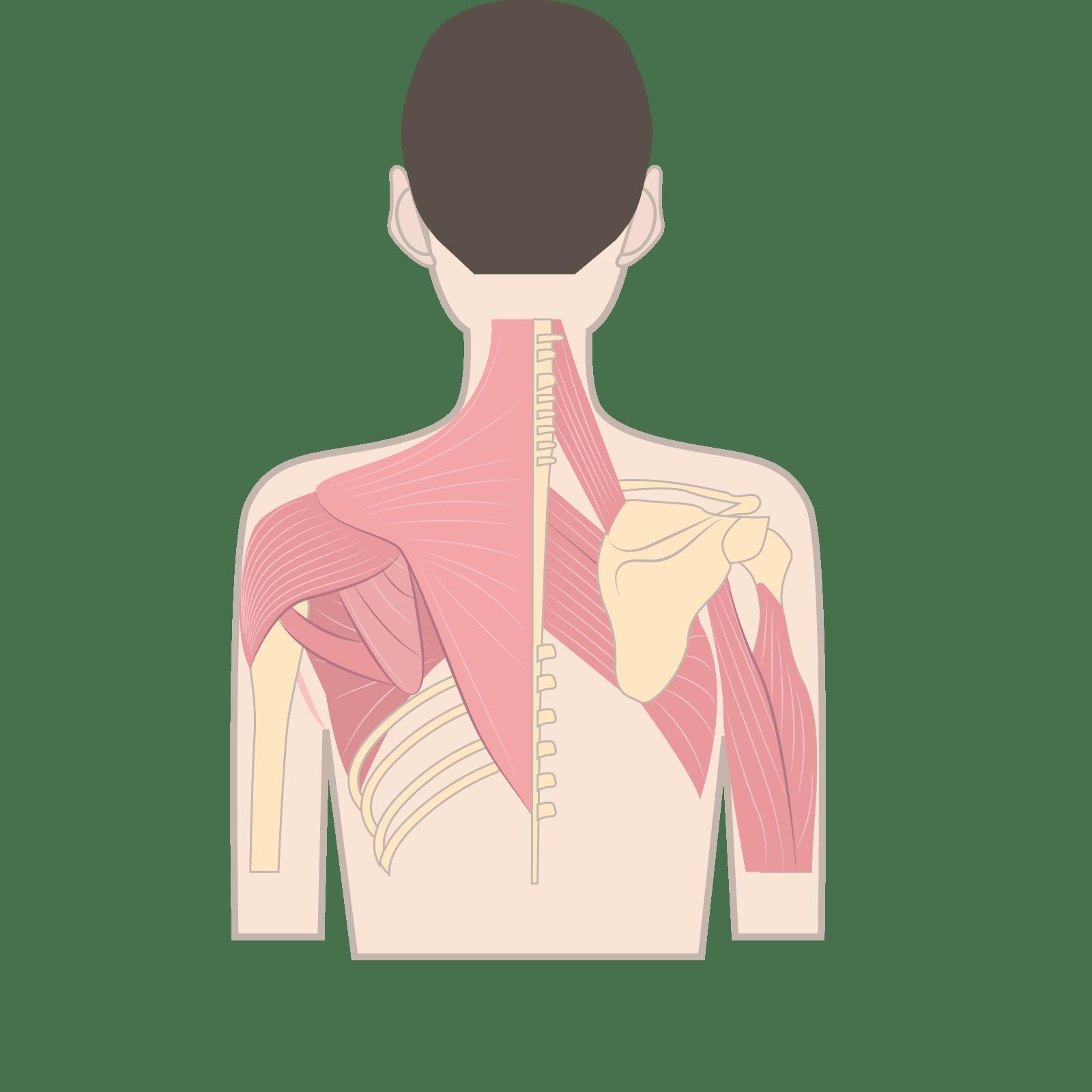 肩甲骨に付着する筋肉