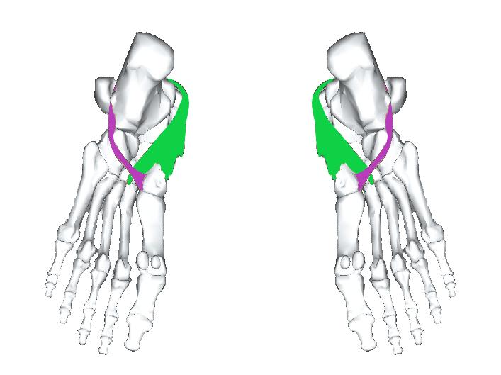 長腓骨筋と後脛骨筋(下から)