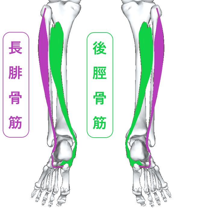 長腓骨筋と後脛骨筋